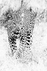 Leopard in black and white (claudio g) Tags: bw canon 40d elefante leopardo biancoenero landscape elephant leopard macchie southafrica sudafrica safari wildlife wild