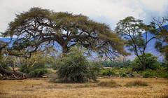 The Magic Forest (AnyMotion) Tags: trees bäume forest wald thomsonsgazelle thomsongazelle eudorcasthomsoni gazellathomsoni landscape landschaft landschaftsaufnahmen 2015 anymotion ngorongorocrater tanzania tansania africa afrika travel reisen animal animals tiere nature natur wildlife 6d canoneos6d ngc npc