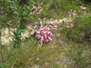 Grevillea sericea  -  Pink Spider-flower (jdf_92) Tags: australia nsw gravillia flower wildflower kuringgai kuringgaichase nationalpark grevilleasericea pinkspiderflower