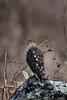 Curious Cooper's Hawk (rob.wallace) Tags: coopers hawk raptor perched huntley meadows park alexandria va