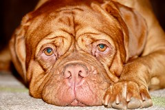 Wrinkles, what wrinkles (tinypaws28) Tags: family pet mansbestfriend dog wrinkles 1655f28 fujixt1 bella doguedebordeaux frenchmastiff