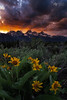 Aspen Sunflower Sunset In The Tetons (Mike Berenson - Colorado Captures) Tags: allrightsreserved aspensunflower clouds coloradocaptures copyright2016bymikeberenson glow grandteton grandtetonnationalpark grandtetons mikeberenson nature sky sunset tetons weather wyoming