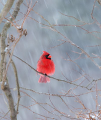 IMG_5386.jpg (Edie Mendenhall) Tags: avian storm northerncardinal malecardinal plumage perched redbird snow song male wildlife feathers songbirds black canada isolated white westvirginia cardinal mammals nature ornithology birds greeting songbird winter animal cold background crest christmas wild mask tree bright red bird winternorthern crested animals fauna cardinalis northern branch