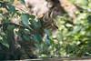 Wildcat (Cloudtail the Snow Leopard) Tags: wildkatze wildpark pforzheim tier animal mammal säugetier katze cat feline wildcat felis silvesris