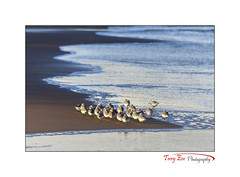 Life on the Edge_7974 (Sanderlings) [Explored] (The Terry Eve Archive) Tags: sanderlings newburgh beach ythanestuary goldenlight surf waves ripples foam inexplore explored