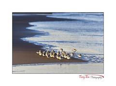 Life on the Edge_7974 (Sanderlings) [Explored] (The Terry Eve Archive) Tags: sanderlings newburgh beach ythanestuary goldenlight surf waves ripples foam inexplore explored