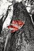 Selective maple leaf (vinnie saxon) Tags: leaf maple red selective tree pov nature autumn fall creative nikoniste nikon