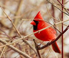 Mr. Cardinal Tries To Hide (John Kocijanski) Tags: odc justmyimagination cardinal red wildlife nature bokeh canon70300mmllens