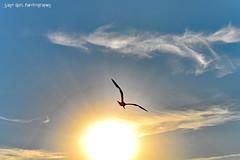 Flying in the Sun (Sage Girl Photography) Tags: bird aquatic sky sun clouds carolinabeach northcarolina nikond3300 sagegirl summer flight soar silhouette