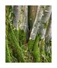 Beech trees, Dartmoor, Devon, UK (SimonHMiles) Tags: dartmoor devon beech tree trees trunk moss lichen wood