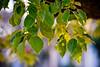 DSC_0367 (Camera Freak) Tags: leaves tokyo green nikon d810 plant foliage leaf outdoor texture tree depth veins 135mm blossom pattern organic nature