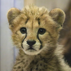 How Much is that Kittly in the Window? (Penny Hyde) Tags: babyanimal bigcat cheetah cub safaripark