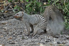 Banded Mongoose (Herve Tainturier) Tags: mongoose