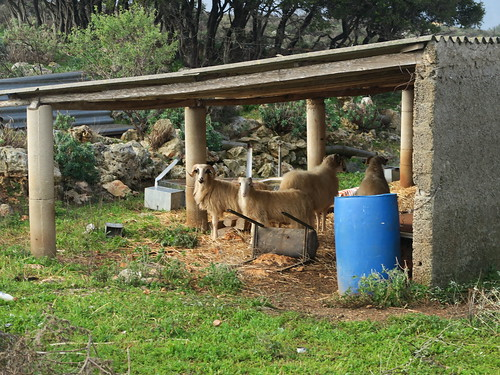 Sheep in shelter   Crete.