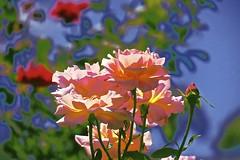 Last of the Summer Roses! (maginoz1) Tags: art manipulate contemporary flowers grain butterfly summer january 2017 bullarosegardenalisterclarkmemorialgarden bulle melbourne victoria australia canon g3x abstract