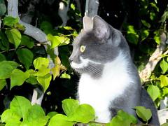Spitha 2 (Savvas511) Tags: cat kitty tender miaou beaitiful eye contact green eyes poets animals wildlife