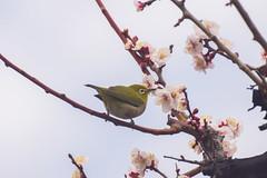 / White-eye on Plum Tree (kimtetsu) Tags: flower tree bird japan blossom blossoms plum   osaka   whiteeye   wildbird