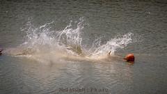 Big splash! (Bashed) Tags: bear park lake water fur jump furry wildlife yorkshire dive belly polar splash flop ywp