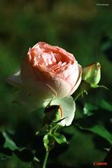 Flower (Circ Grand) Tags: pink flower color green nature fleur rose canon vintage garden natur jardin vert petal greenery blume garten couleur ptale verdure bourgeon sepal spale