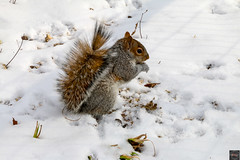 Squirrel on the snow.... (Fabrizio Contadini  Photographer) Tags: park city snow newyork nature animals squirrel centralpark