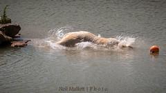 Splashdown (Bashed) Tags: bear park lake water fur jump furry wildlife yorkshire dive belly polar splash flop ywp