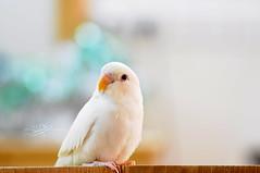safi ( ) Tags: white macro birds nikon d500