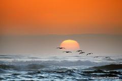 Sunset Pelicans (Gary Grossman) Tags: ocean sunset seascape pelicans birds oregon pacific wildlife pacificocean pacificnorthwest cannonbeach brownpelicans settingsun californiabrownpelicans