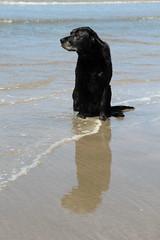 Daisy at the beach (Tripl3 D) Tags: sea dog pet black beach water strand canon eos sand labrador zee hond retriever daisy labradorretriever zwart huisdier zand 650d canoneos650d