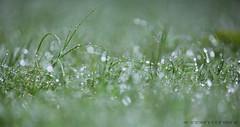 Drizzled (Chandan Bhola) Tags: india green water grass rain drops bokeh delhi monsoon gurgaon gems drizzle