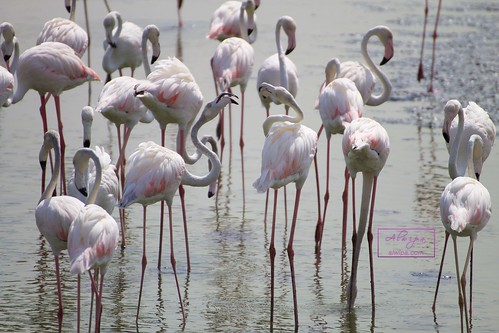 "Flamingos at Dubai - Ras al khor wildlife sanctuary • <a style=""font-size:0.8em;"" href=""http://www.flickr.com/photos/104879414@N07/19609386734/"" target=""_blank"">View on Flickr</a>"