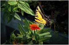 Swallowtail On A Zinnia (sorrellbruce) Tags: summer orange butterfly golden colorful fuji insects serene summertime backlit zinnia vignette swallowtail papilionidae lr6 photoninja colorefexpro fujinon90mm simplysuperb summericon fujixt1