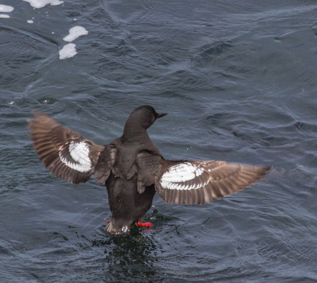 Pigeon guillemot research paper