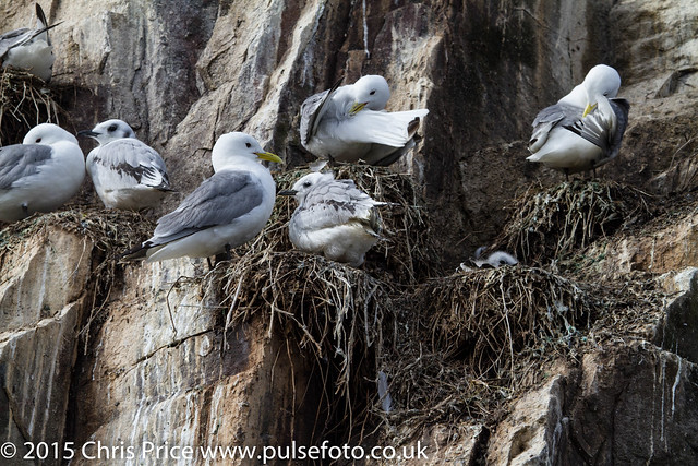 Kittwakes, Farne Islands