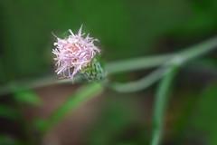 イブキヒメヤマアザミ thistil:Ibuki-hime-yama-azami (qooh88) Tags: cirsium asteraceae perennial アザミ 薊 キク科 多年草 carduoideae アザミ属 アザミ亜科 thistil 伊吹姫山薊 イブキヒメヤマアザミ