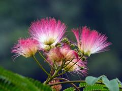 Albizia julibrissin Durazz. 1772 (LEGUMINOSAE) (helicongus) Tags: spain leguminosae albizia jardínbotánicodeiturraran albiziajulibrisin