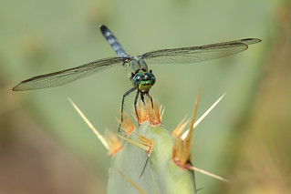 Eastern Pondhawk (Explored)