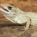 Cuban Brown Anole, Male