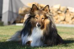 Jordie (ambodavenz) Tags: dog sheltie sheepdog shetland