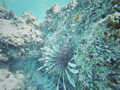 Lionfish trying to blend into the reef (Daniel Piraino) Tags: underwater lionfish water sea coral marinelife