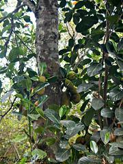 Jackfruit (tinlight7) Tags: jackfruit fruit tree vietnam jungle catba taxonomy:kingdom=plantae plantae taxonomy:clade=tracheophyta tracheophyta taxonomy:phylum=magnoliophyta magnoliophyta taxonomy:class=magnoliopsida magnoliopsida taxonomy:order=rosales rosales taxonomy:family=moraceae moraceae taxonomy:genus=artocarpus artocarpus taxonomy:species=heterophyllus taxonomy:binomial=artocarpusheterophyllus jaca jacquier artocarpusheterophyllus yaca jakfruit nangka 菠蘿蜜 大樹菠蘿 木波羅 jaqueira индийскоехлебноедерево джекфрут taxonomy:common=jaca taxonomy:common=jacquier taxonomy:common=jackfruit taxonomy:common=yaca taxonomy:common=jakfruit taxonomy:common=nangka taxonomy:common=菠蘿蜜 taxonomy:common=大樹菠蘿 taxonomy:common=木波羅 taxonomy:common=jaqueira taxonomy:common=индийскоехлебноедерево taxonomy:common=джекфрут