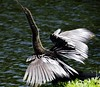 ANHINGA  #14 (3Point141) Tags: 3point141 anhinga anhingaanhinga anhingidae florida rockledge usa snakebird
