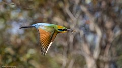 Rainbow beeeater with of all things, a bee!! (Mykel46) Tags: 100400mk2 1dxmk2 canon yellow green orange red blue flying nature birds bird bif eater bee rainbow tailembend southaustralia australia au
