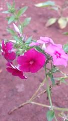 IMG_20161215_192137755 (Rodrigo Ribeiro) Tags: flor flower garden gardening jardim jardinagem nature natureza flores