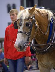 Horse (swong95765) Tags: horse team brigade harness bridal pulling parade beautiful animal