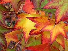 A Little Late (Bennilover) Tags: leaves trees color red yellow orange green colorful liquidamber tree winter december changing colors