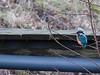 Eisvogel (tino.schuhmacher) Tags: vogel eisvogel natur
