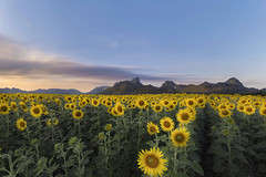 Mt. Chin Lae, Lopburi, Thailand (tapanuth) Tags: lopburi landscape sunflower field mountain chinlae mt thailand sunset longexposure flower landmark evening dusk cloud nature cultivated land travel tourism destination attraction yellow color plant agriculture farm
