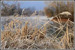 Matin de givre (Les photos de LN) Tags: nature paysage gel gelée givre roseaux lac berges brouillard brume hiver