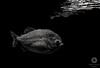 Fangs (Xlavius) Tags: monochrome black white grey piranha fish dark reflection sharp pentax k5iis