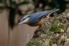 _F0A7571.jpg (Kico Lopez) Tags: galicia lugo miño sittaeuropaea spain trepadorazul aves birds rio